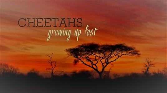 Cheetas Growing Up Fast
